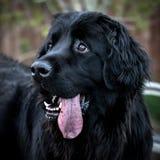 Λατρευτό ευτυχές μαύρο σκυλί με την ένωση γλωσσών έξω κατά τη διάρκεια του χρόνου παιχνιδιού στοκ φωτογραφία με δικαίωμα ελεύθερης χρήσης