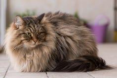 Λατρευτό κατοικίδιο ζώο της σιβηρικής γάτας του ζωικού κεφαλαίου, μακρυμάλλες hypoallergenic ζώο στοκ φωτογραφία με δικαίωμα ελεύθερης χρήσης