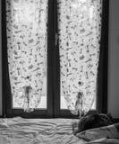 Λατρευτό κατοικίδιο ζώο της σιβηρικής γάτας του ζωικού κεφαλαίου, μακρυμάλλες hypoallergenic ζώο στοκ φωτογραφία