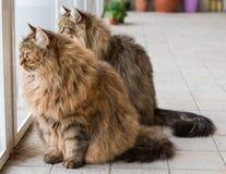 Λατρευτό κατοικίδιο ζώο της σιβηρικής γάτας του ζωικού κεφαλαίου, μακρυμάλλες hypoallergenic ζώο στοκ φωτογραφίες με δικαίωμα ελεύθερης χρήσης