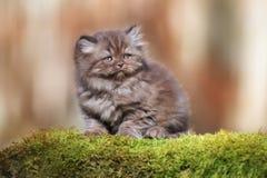 Λατρευτό καφετί βρετανικό μακρυμάλλες γατάκι υπαίθρια Στοκ Εικόνα