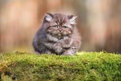 Λατρευτό καφετί βρετανικό μακρυμάλλες γατάκι υπαίθρια Στοκ Φωτογραφίες