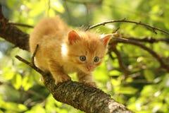 Λατρευτό κόκκινο γατάκι που αναρριχείται στον κλάδο δέντρων Στοκ Φωτογραφία