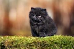 Λατρευτό μαύρο βρετανικό μακρυμάλλες γατάκι υπαίθρια Στοκ φωτογραφία με δικαίωμα ελεύθερης χρήσης