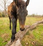 Λατρευτό νέο άλογο κάστανων Στοκ εικόνα με δικαίωμα ελεύθερης χρήσης