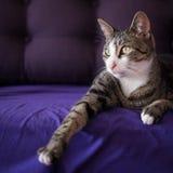 Λατρευτό πορτρέτο γατών κινηματογραφήσεων σε πρώτο πλάνο στον καναπέ Στοκ φωτογραφία με δικαίωμα ελεύθερης χρήσης