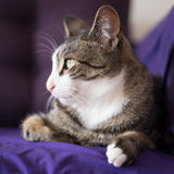 Λατρευτό πορτρέτο γατών κινηματογραφήσεων σε πρώτο πλάνο στον καναπέ Στοκ Εικόνα