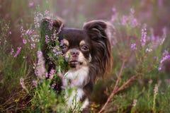 Λατρευτό πορτρέτο σκυλιών chihuahua στο ρείκι Στοκ φωτογραφίες με δικαίωμα ελεύθερης χρήσης