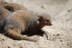 Λατρευτό πρόσωπο νάνο Mongoose Στοκ φωτογραφίες με δικαίωμα ελεύθερης χρήσης