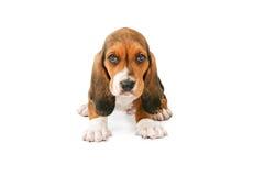 Λατρευτό σκυλί κουταβιών μπασέ Στοκ Εικόνες