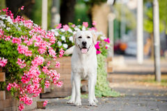 Λατρευτό σκυλί του Λαμπραντόρ υπαίθρια Στοκ Εικόνες