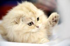 λατρευτό στενό γατάκι σκωτσέζικα πτυχών επάνω Στοκ Εικόνες