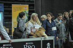 Λατρευτό τσοπανόσκυλο Shetland Αυτή η φυλή είναι επίσης γνωστή ως sheltie Στοκ φωτογραφίες με δικαίωμα ελεύθερης χρήσης