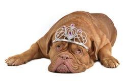 λατρευτό diadem σκυλί στοκ εικόνα με δικαίωμα ελεύθερης χρήσης