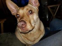 Λατρευτό doggie Στοκ εικόνα με δικαίωμα ελεύθερης χρήσης