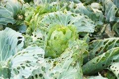Λαχανικά χαλασμένα από την ασθένεια παρασίτων στοκ φωτογραφία με δικαίωμα ελεύθερης χρήσης