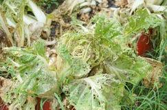 Λαχανικά χαλασμένα από την ασθένεια παρασίτων στοκ εικόνες με δικαίωμα ελεύθερης χρήσης