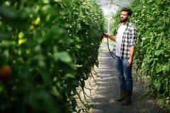 Λαχανικά Spaying με τα προϊόντα προστασίας νερού ή εγκαταστάσεων όπως τα φυτοφάρμακα ενάντια στις ασθένειες στοκ εικόνες