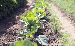 Λαχανικό λάχανων στον κήπο Στοκ Εικόνα