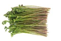 Λαχανικό ανοίξεων argentea Selaginella Στοκ Εικόνες