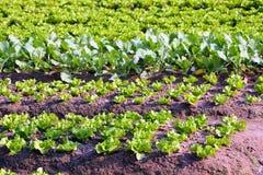λαχανικό κήπων