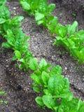 λαχανικό κήπων Στοκ φωτογραφία με δικαίωμα ελεύθερης χρήσης