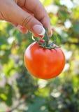 λαχανικό κηπουρών Στοκ Εικόνες