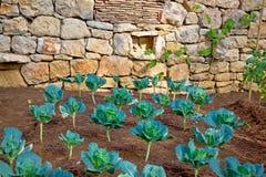 Λαχανικό πράσινων λάχανων στον κήπο Στοκ φωτογραφία με δικαίωμα ελεύθερης χρήσης