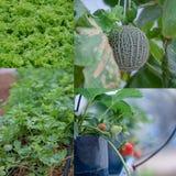 Λαχανικό στο θερμοκήπιο Στοκ Φωτογραφίες