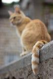 Λα coda del gatto Στοκ φωτογραφίες με δικαίωμα ελεύθερης χρήσης