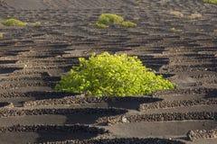 Λα Geria περιοχής οινοκαλλιέργειας σε Lanzarote, Ισπανία Στοκ εικόνα με δικαίωμα ελεύθερης χρήσης