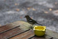 Λα Palma chaffinch Στοκ Φωτογραφίες