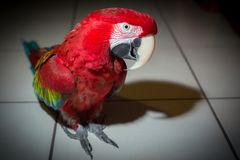 Λειμώνιο κόκκινο πορτρέτο παπαγάλων macaw που στέκεται στο άσπρο κεραμίδι στοκ φωτογραφίες