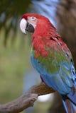 Λειμώνιο macaw κινηματογραφήσεων σε πρώτο πλάνο Στοκ Εικόνες