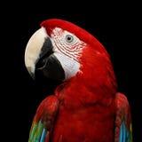 Λειμώνιο macaw πορτρέτου κινηματογραφήσεων σε πρώτο πλάνο αστείο, chloroptera Ara, απομονωμένο μαύρο υπόβαθρο Στοκ φωτογραφία με δικαίωμα ελεύθερης χρήσης
