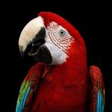 Λειμώνιο macaw πορτρέτου κινηματογραφήσεων σε πρώτο πλάνο αστείο, chloroptera Ara, απομονωμένο μαύρο υπόβαθρο Στοκ Εικόνα