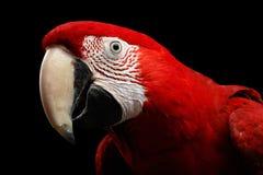 Λειμώνιο macaw πορτρέτου κινηματογραφήσεων σε πρώτο πλάνο αστείο, chloroptera Ara, απομονωμένο μαύρο υπόβαθρο Στοκ εικόνα με δικαίωμα ελεύθερης χρήσης