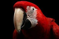 Λειμώνιο macaw πορτρέτου κινηματογραφήσεων σε πρώτο πλάνο αστείο, chloroptera Ara, απομονωμένο μαύρο υπόβαθρο Στοκ Εικόνες