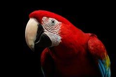 Λειμώνιο macaw πορτρέτου κινηματογραφήσεων σε πρώτο πλάνο αστείο, chloroptera Ara, απομονωμένο μαύρο υπόβαθρο Στοκ Φωτογραφία