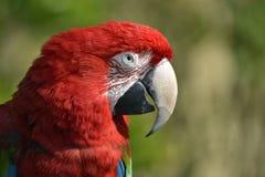 Λειμώνιο macaw πορτρέτου Στοκ Εικόνες