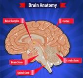 Λειτουργία εγκεφάλου, ανθρώπινη ανατομία εγκεφάλου με τα βασικά γάγγλια, φλοιός, μίσχος εγκεφάλου, παρεγκεφαλίδα και νωτιαίος μυε διανυσματική απεικόνιση