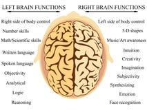 Λειτουργίες ημισφαιρίου εγκεφάλου Στοκ Εικόνες