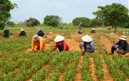 Λειτουργώντας φυστίκι συγκομιδών αγροτών της Ασίας ομάδας Στοκ Φωτογραφία