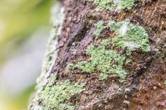 Λειχήνα σε μια σύσταση φλοιών δέντρων Στοκ φωτογραφία με δικαίωμα ελεύθερης χρήσης