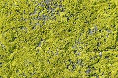 Λειχήνα στο βράχο Στοκ φωτογραφία με δικαίωμα ελεύθερης χρήσης