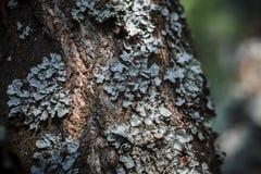 Λειχήνα στο φλοιό δέντρων Στοκ Εικόνες