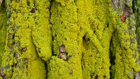Λειχήνες σε ένα δέντρο Στοκ Εικόνες