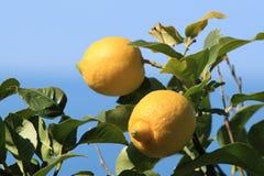 λεμόνια δύο στοκ εικόνες με δικαίωμα ελεύθερης χρήσης