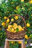 λεμόνια καλαθιών Στοκ Εικόνες