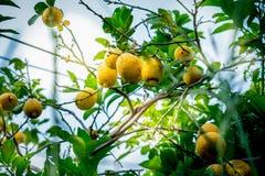 Λεμόνια που κρεμούν στο δέντρο Αυξανόμενο λεμόνι Στοκ Φωτογραφία